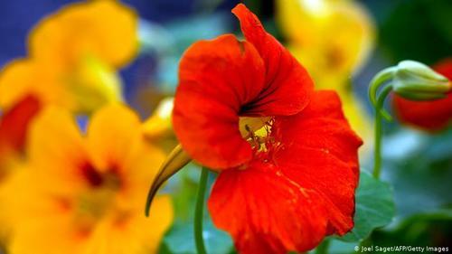 لادن- گل لادن نه تنها زیبایی خاصی دارد، بلکه برگهای این گیاه و غنچههایش نیز خوراکی است و مملو از ویتامین ث. بیشتر بخشهای این گیاه به ویژه برگهایش طعم شاهی میدهد، از این رو به آن شاهی هندی هم میگویند. گلها مهمیزدار، شیپورمانند به رنگ قرمز، زرد و نارنجی از اوایل تابستان تا اوایل پاییز پدیدار می شوند.