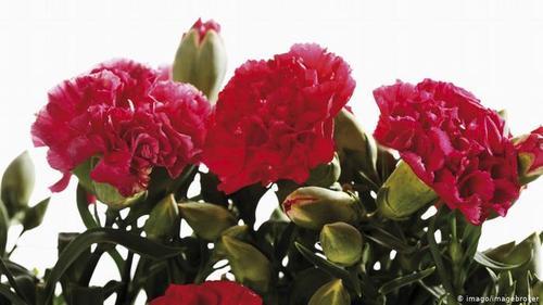 گل میخک- گلی که از دو هزار سال پیش به عنوان ادویه شناخته و استفاده میشده است. گل میخک از نظر طب قدیم ایران خیلی گرم و خشک است و ۲۴ نوع خواص چون: رفع سردرد، رفع تنگی نفس، اشتهاآور، تببر و کرم کش برای آن اعلام شده است.