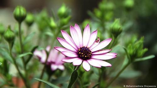 کوکب- برای ضد عفونی کردن زخمها از جوشانده گل کوکب استفاده می شود. برای دفع ترکهای لب و پاشنهٔ پا به مدت یک ماه ۱۰۰ گرم از گلهای کوکب را در بادام تلخ گذاشته و بعد از صاف کردن هر روز بر روی محل ترکها و زخمهای پا و لب مالیده شود. گلبرگهای کوکب در سالاد، در کنار ماهی و حتی در نوعی دسر انگلیسی نیز استفاده میشوند.