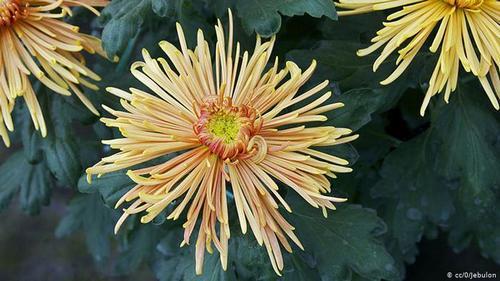 گل داوودی- از گل داوودی میتوان در پخت نان، سوپ و انواع