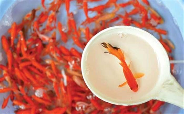ماهی قرمز عید: از باکتری سالمونلا تا فرمول وایتکسی!