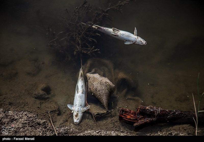 پساب کارخانه عامل اتلاف هزاران ماهی در رودخانه قره سو کرمانشاه