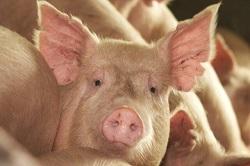 ترمیم سوختگی پوست انسان با سلول زنده پوست خوک